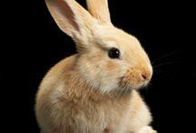 ANIMAL • Rabbit