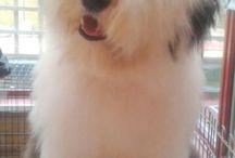 Bob tail dog