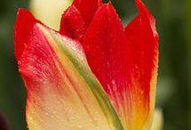 Tulipan i dalia