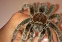 Beautiful tarantulas