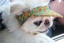 Tater the Pekingese / Tater aka My Sweet Tater a white/tan pekingese dog and spoiled princess