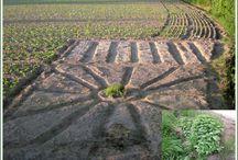 """Settimana Due del Progetto Ecologico / Cominciamo a piantare le prime piantine. Abbiamo piantato le erbe aromatiche al centro del nostro """"girasole"""" e abbiamo piantato le viti in fondo al nostro piccolo terreno. Essendo un appassionato di peperoncini piccanti questa settimana pianteremo l'Habanero orange, il Black Pearl e altre piante piccanti. Il nostro piccolo orto ci ha omaggiato di un regalo molto gradito, infatti all'angolo del nostro appezzamento a ridosso del fosso abbiamo scoperto un cespuglio di ortiche."""