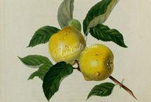 ilustraciones de botánica