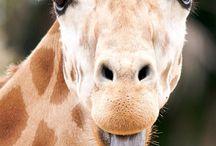 Giraffe inspiration