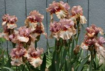 Iris e rose Novaspina   di  Davide Dalla Libera