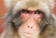 Japanese Macaques ニホンザル