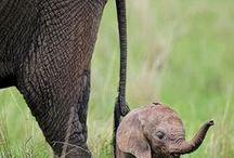 Elefántbébi