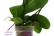 Orchid Signs of Dehydratio