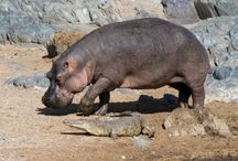 ANIMAL • Hippo