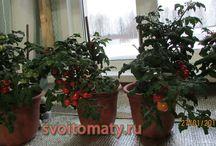 помидоры зимой