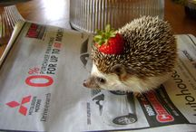 headgehog
