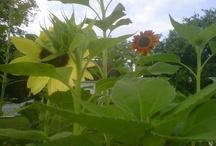 Three Hearts Farm / Our organic garden  / by Meredith Wilson