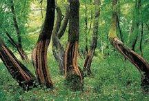 Akgünlük Ağacı