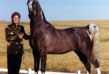 National Show Horse / country of origin - USA | average height - 150-165 cm | colours - black, bay/brown, chestnut, grey, dilutes (cream), pinto patterns (tobiano, sabino), roan pattern | uses - show horse, driving,dresage, sport horse, general riding | Must have at least 50% of Arabian blood.