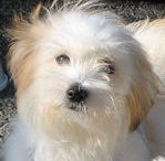Coton de Tulear / A beautiful breed of small companion dog.