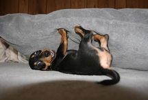 Doxies...