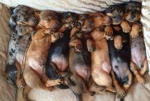 perros salchichas