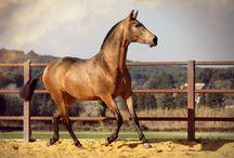 Le Pure Race Espagnole ou Andalou / Issus des croisements de chevaux ibériques locaux avec des chevaux germaniques au VIème siècle (avec l'invasion des vandales) puis avec les chevaux Barbes, Arabes et Arabes Syriens importés par les Maures quand il envahirent l'Espagne en 711, les chevaux espagnols ont été très réputés dès le Moyen Âge.
