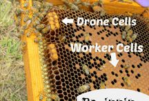 Beekeeping / Beekeeping for beginners, save the pollinators by keeping bees. Managing a hive, and planting wildflowers is a good way to support the bee population.