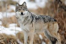 Southwest- Mexican Gray Wolves (Lobos) / Mexican gray wolves of Arizona and New Mexico