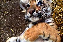tigri 2