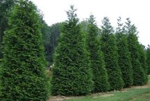 Privacy Screen Trees / Trees