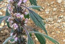 Lamiaceae (Labiatae)