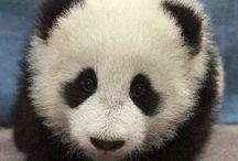 Panda / Allemaal pandaplaatjes
