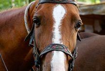 Anglo Arabe Sarde / L'Anglo Arabe Sarde appelé aussi Sarde, Sardinian ou Sardinier, est une race de cheval italien originaire de Sardaigne. Depuis les temps de la domination des sarrasins des Arabes ont été croisés avec des chevaux Sardes qui étaient petits.