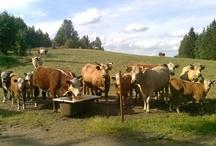 Maatilan eläimiä  / Vanhan Vartiamäen tilalta löytyy emolehmät, virkeät vasikat, iso sonni, suomenhevoset, shetlanninponi ja suomenlapinkoira.