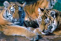 Tiger & Löwen und andere Raubtiere