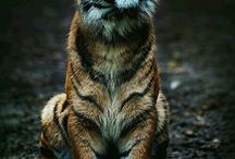 Tigers / Here are some pictures of one of the worlds most beautiful animals.
