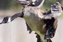 Birds / На этой доске птицы, которые были  встречены мной на территории России.