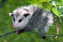 Tapety - zwierzęta - oposy