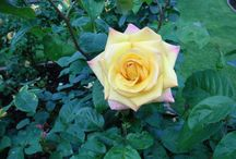 beautiful flowers / all types of roses and beautiful flowers that i have found so far. just wish i knew their names