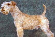 Lakeland Terrier / Dating from the 1700's, this terrier originated in the Lake District. They were bred to keep foxes away from sheep and hunt rats in the surrounding mountains. By the early 1900's local people were talking about the 'new improved Fell Terrier' but by 1912 the name Lakeland terrier was agreed upon. - See more at: http://www.noahsdogs.com/m/dogs/breed/Lakeland-Terrier#sthash.xONV0mRh.dpuf
