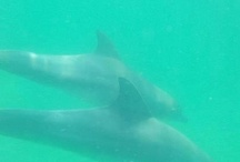 Swimming with wild dolphins in Perth oz 2013! / Swimming with wild dolphins is a most for anyone going to oz!