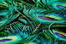 Peacocks please / Colour and energy