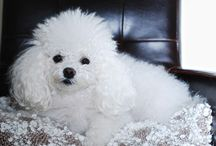 Bolognese dog. Pet. Eläimet ja lemmikit