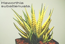 Haworthia ... just Haworthias / My absolute favorite succulent genus!!  They are why I began collecting cactus & succulents decades ago!!!!! / by Mara Aditajs