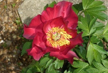 Our Peonies (ITOH) / by Sandy Hilliard