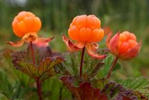 Cloudberry / Cloudberry