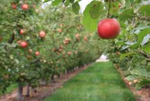 Fine NW Fruit makes Fine Cider / Look at them apples!