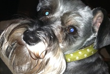 Schnauzer Love: All Schnauzer, All the Time! / All Schnauzers, All the Time!