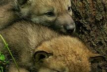 pui de lupi