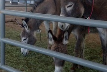 Wild Horses/Mules of Utah / These animals are available for adoption