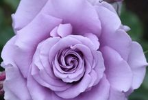 paarse rozen