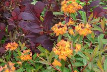 Euphorbia Combinations / Plant partnerships that include euphorbias (also known as spurges)