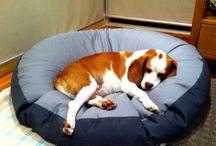 Beaglier (Beagle cross Cavalier)