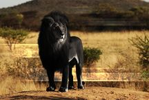 Beastly Beauty / Regal Wildlife